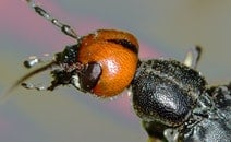 head, insects, beetle