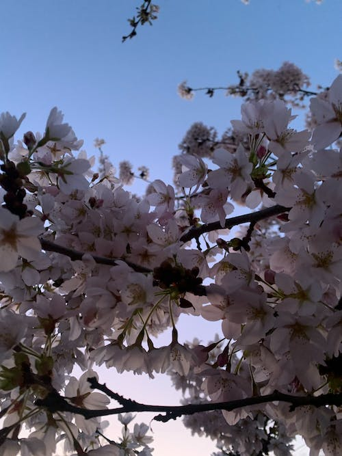 Free stock photo of cherry blossom, cherry blossoms, mothernature, pastels