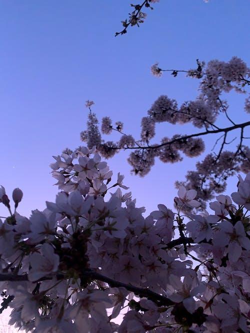 Free stock photo of cherry blossom, mothernature, neon, pastels