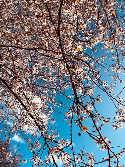 Free stock photo of cherry blossom, colors, pastel