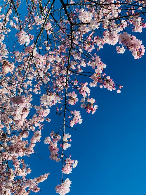 Free stock photo of beauty of nature, blooming flowers, cherry blossom, outdoor
