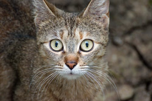 Tabby Cat in Close Up Photography