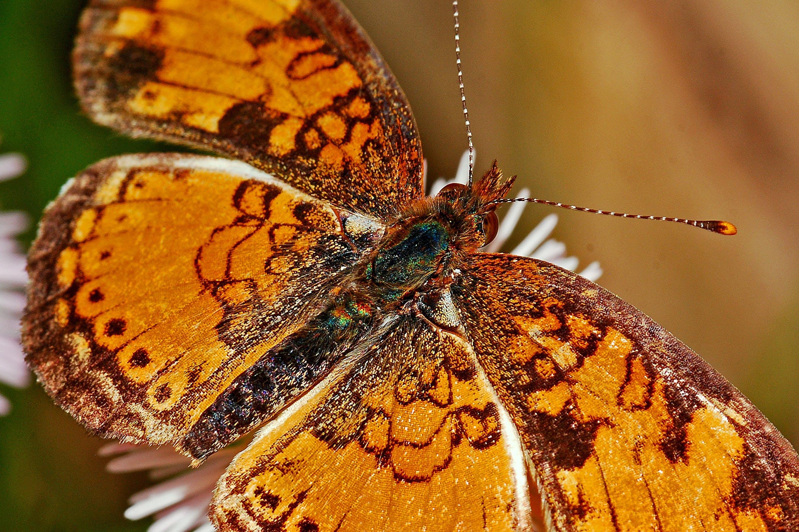 Foto stok gratis kupu-kupu, makro, merapatkan, serangga