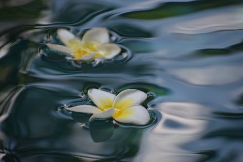 Plumeria flowers on clean water surface