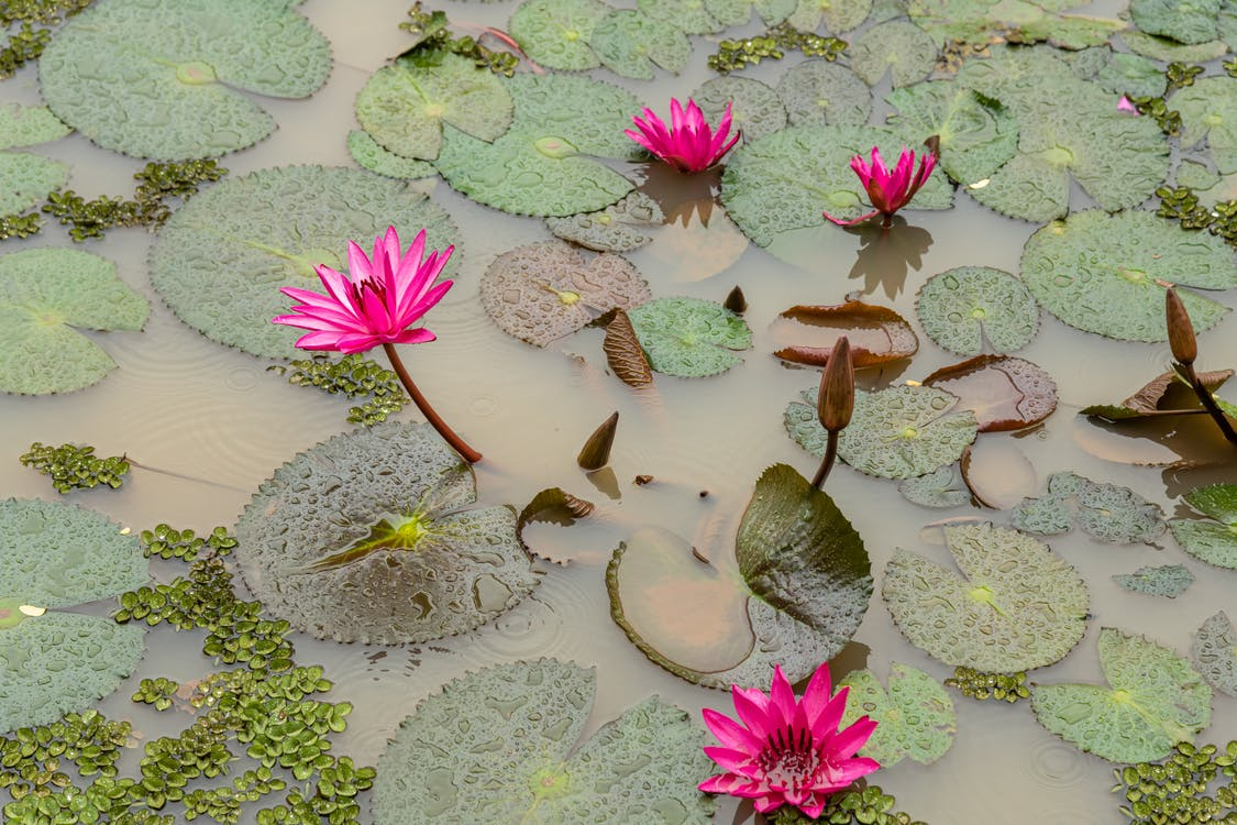 Lily pad in pond water in summer day