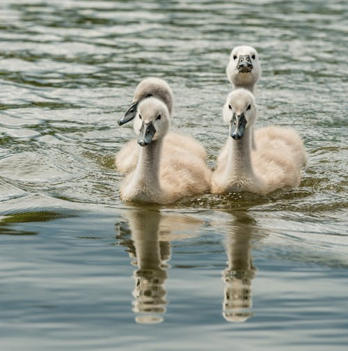 Young swans swimming in rippling river water