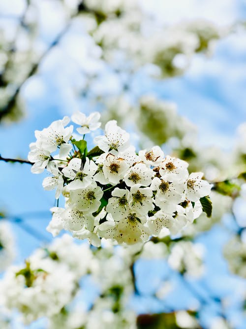 Blooming twig of cherry tree on sunny day