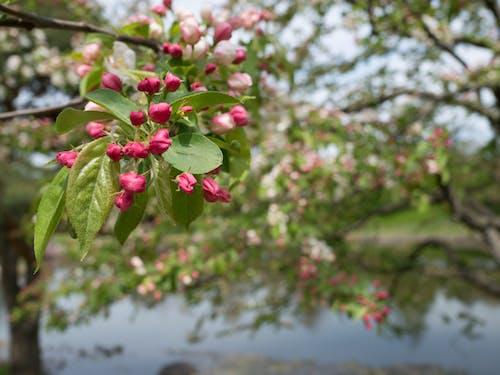 ぼかし, マゼンタ, 庭園, 水の無料の写真素材