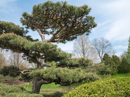 ローアングル, 庭園, 松, 空の無料の写真素材
