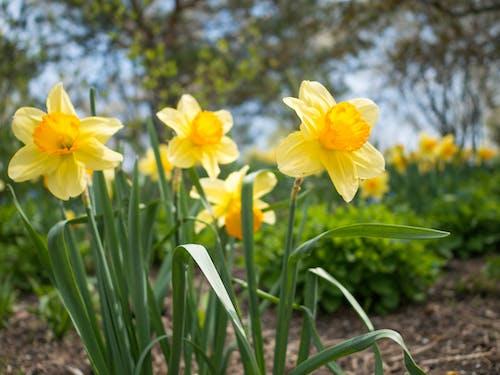 ぼかし, 太陽の花, 庭園, 泥の無料の写真素材