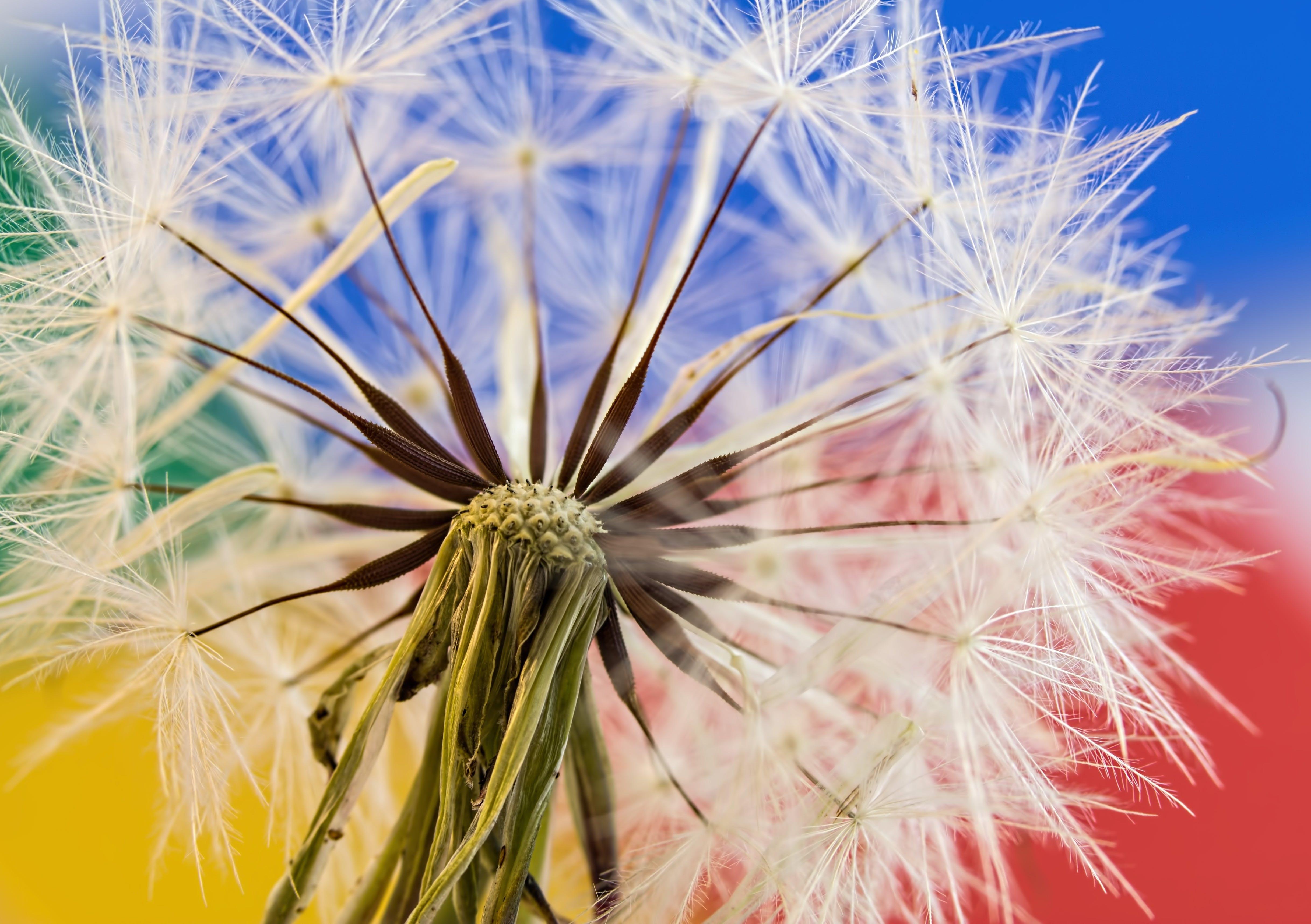 Základová fotografie zdarma na téma chmýří pampelišky, flóra, kytka, luční květy