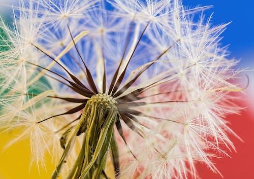 Fotos de stock gratuitas de diente de león, flor, flora, naturaleza