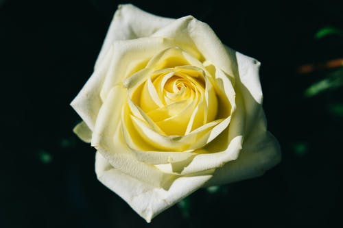 Yellow Rose on White Tissue Paper