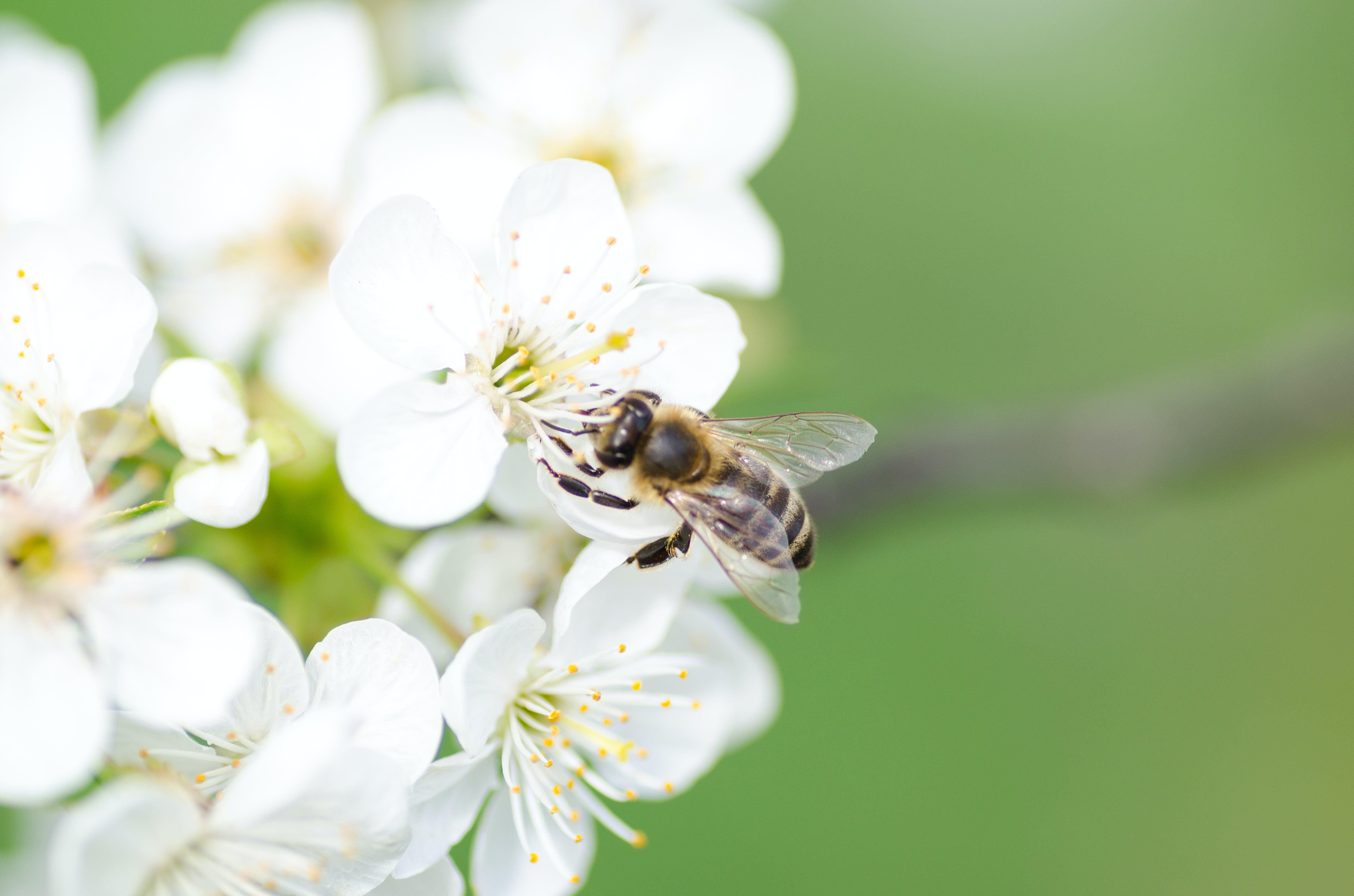 Black Bee on White Flower
