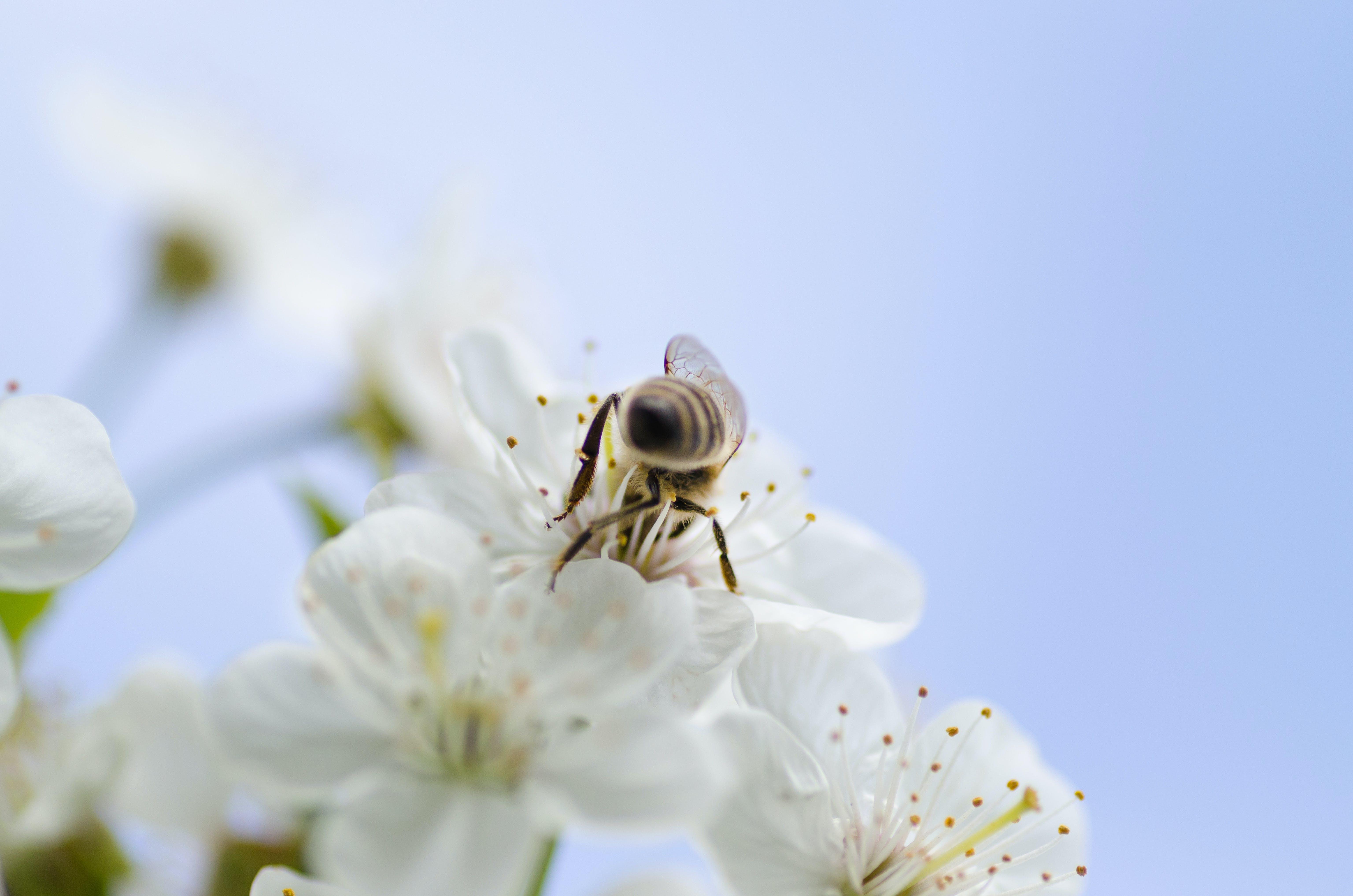 Selective Focus Photography of Honeybee Sucking Nectar on White Petaled Flower