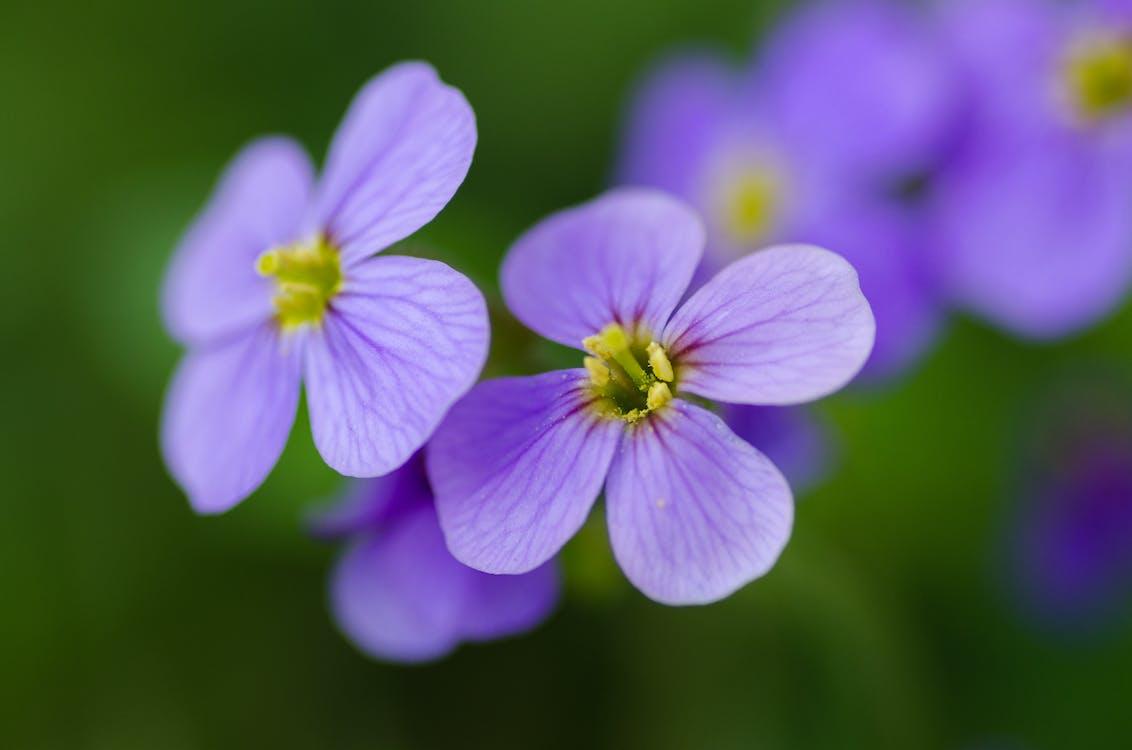 barva, botanický, fialová