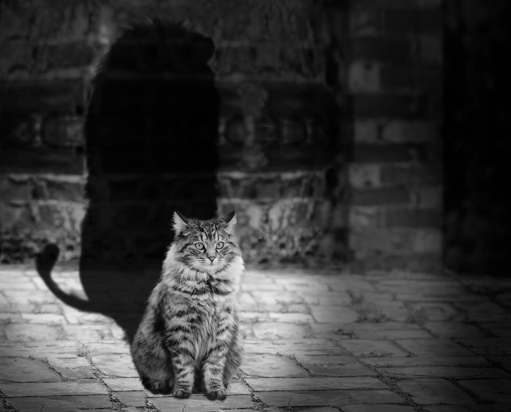 Gray Scale Photography of Brown Tabby Maine Coon With Shadow of Lion