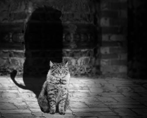 Graustufen Fotografie Von Brown Tabby Maine Coon Mit Schatten Des Löwen