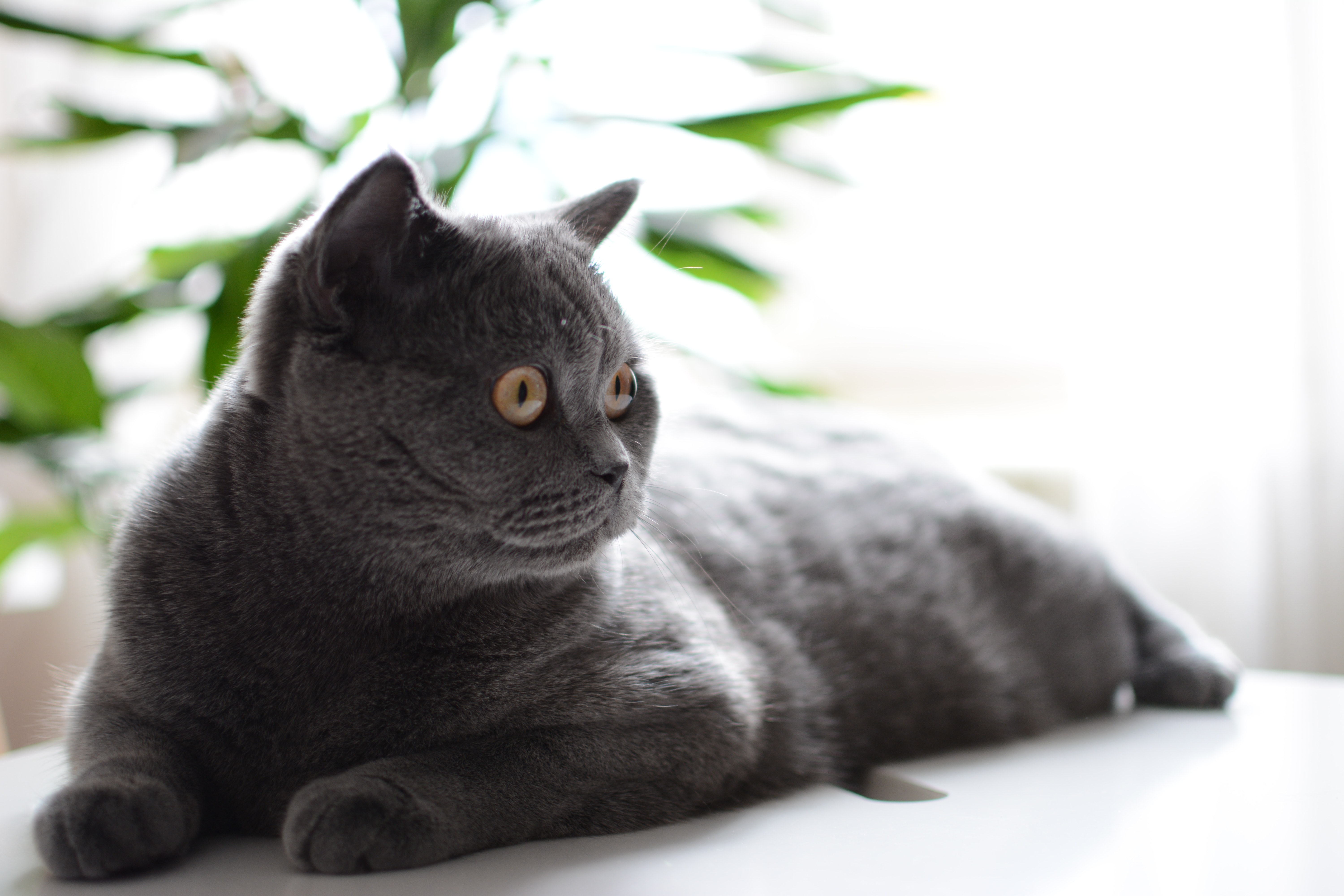 Russian Blue Cat On White Table Free Stock Photo
