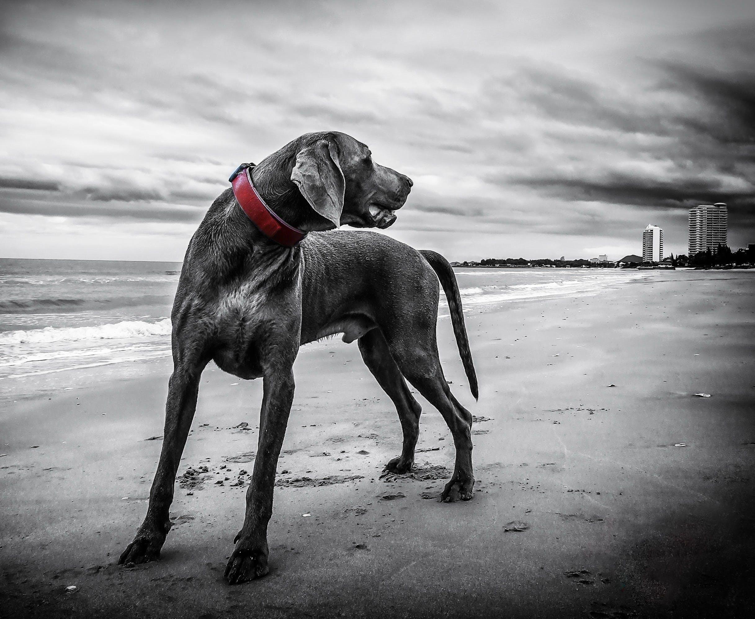 Gray Short Coated Medium Sized Dog
