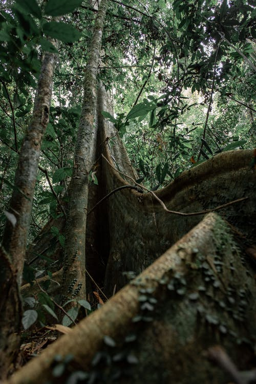 Tropical tree roots and trunk in jungle
