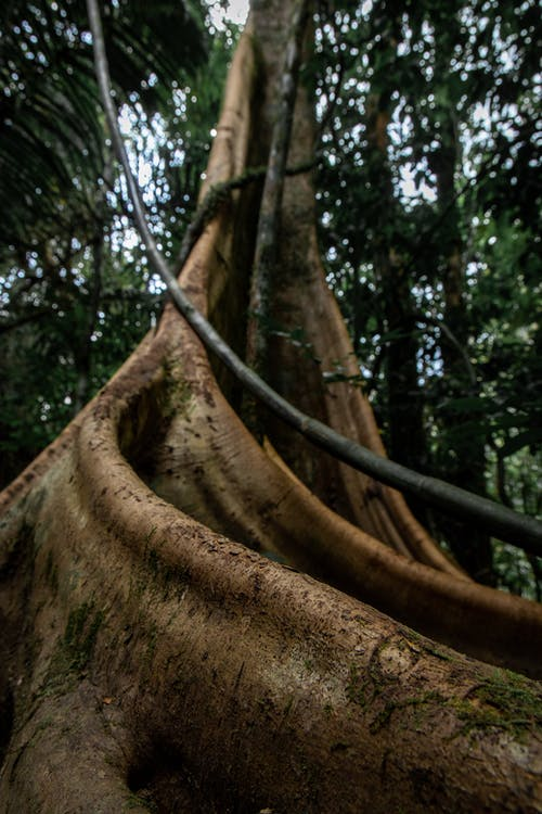 Low angle of giant buttress roots and trunk of Dracontomelon dao tree growing in tropical forest during daytime