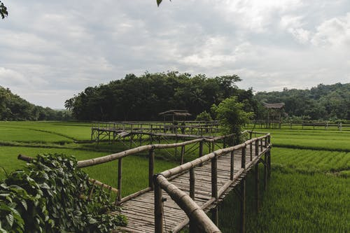 Narrow bamboo footbridge going through tropical lush rice field surrounded with green trees against cloudy sky in countryside