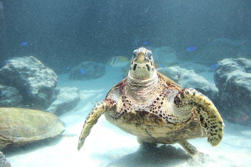 Foto profissional grátis de tartaruga, tartaruga-marinha