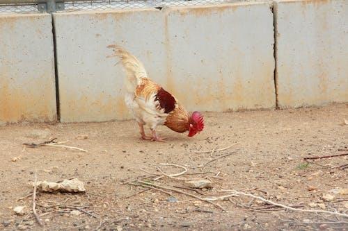 Foto profissional grátis de frango, galinha