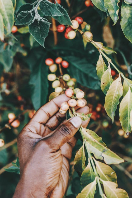 Crop of anonymous African American person checking coffee cherries while working in garden in sunlight