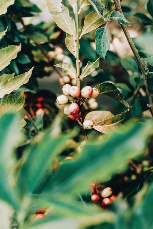 Tiny immature coffee beans on tree surrounded by leaves and branches in sunlight