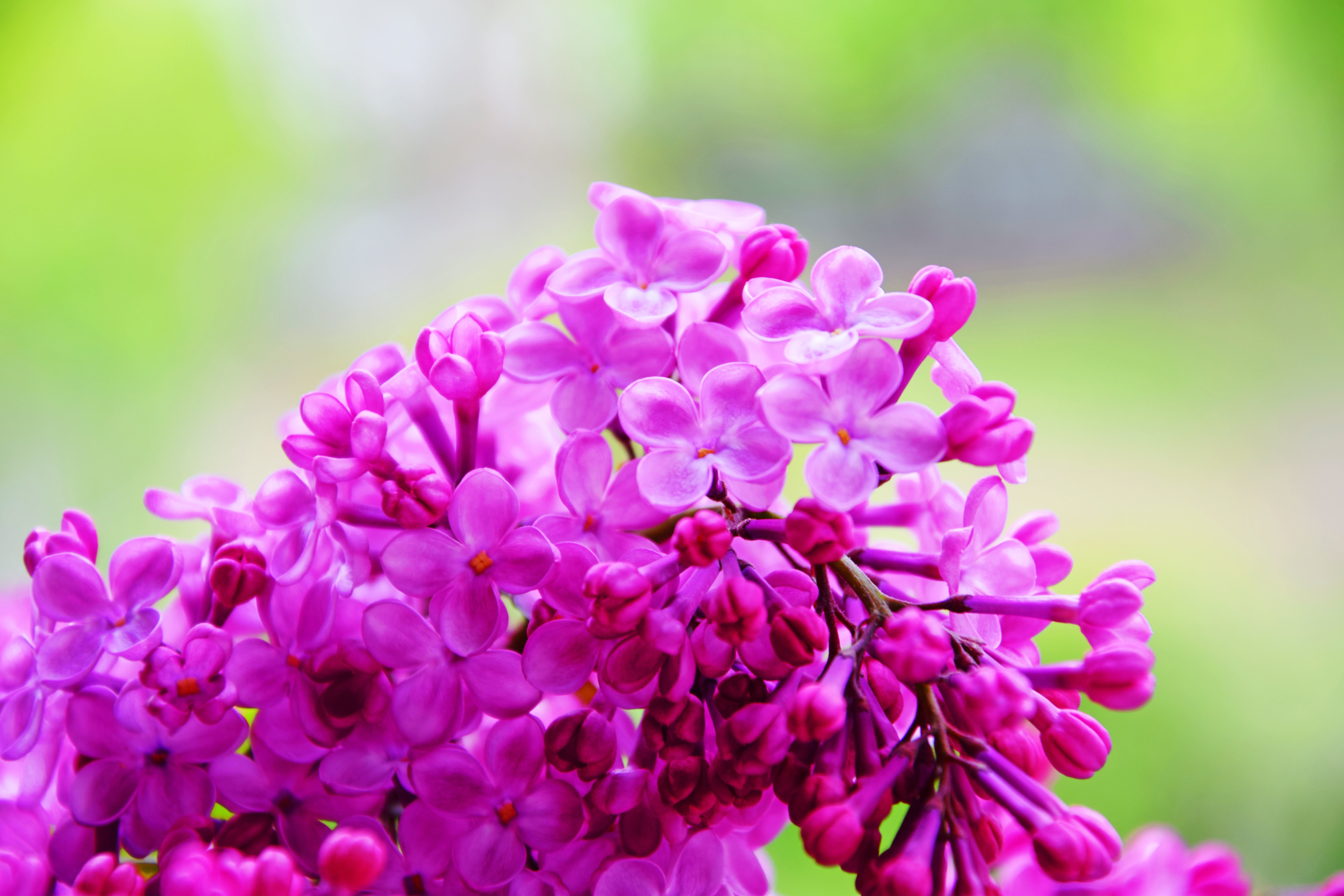 Selective Focus Photo of Pink Petaled Flowers