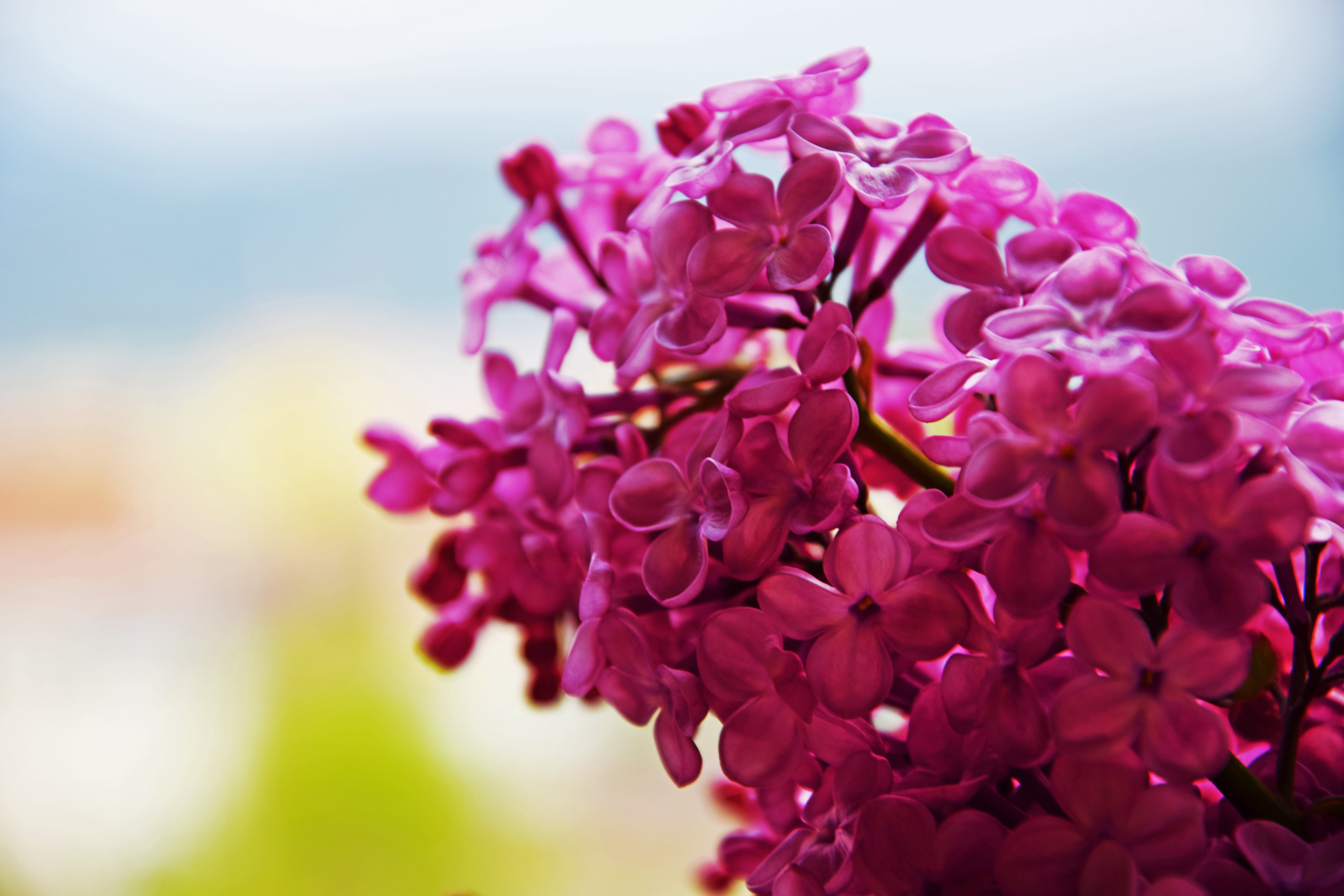 Free stock photo of beautiful flowers, flowers, pink, spring