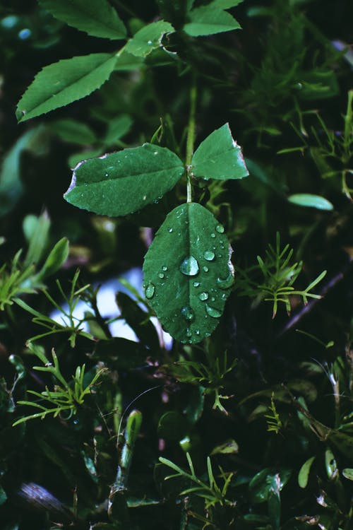 Dewdrops on dark green plant with cut edges surrounded by lush greenery in forest