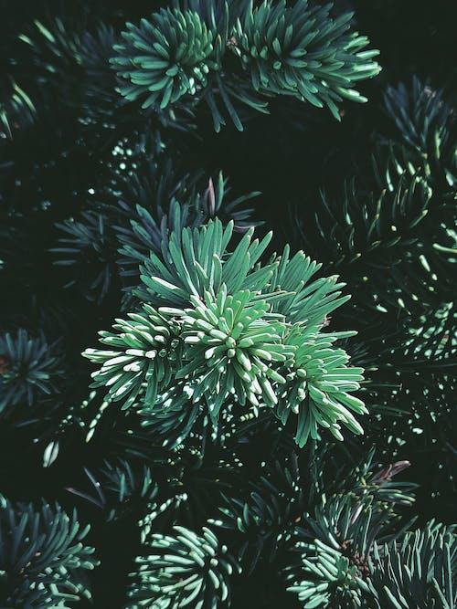 Light green spruce in sunlight