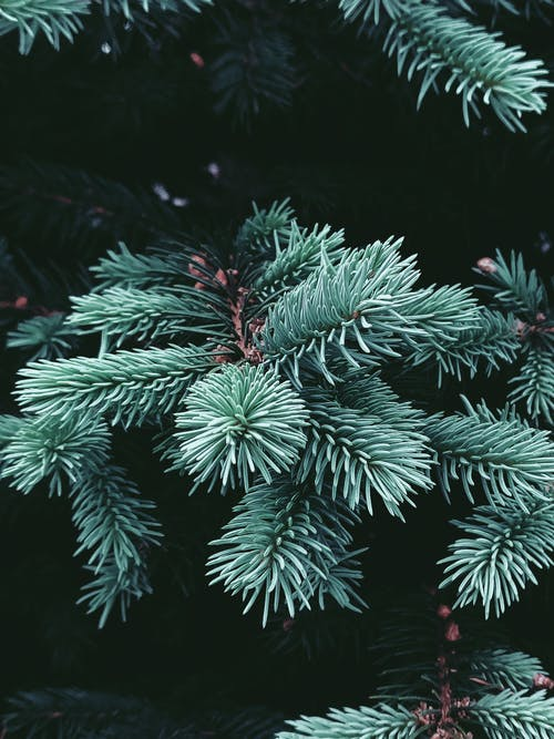 Branches of young light green spruce tree with small soft needles in daylight