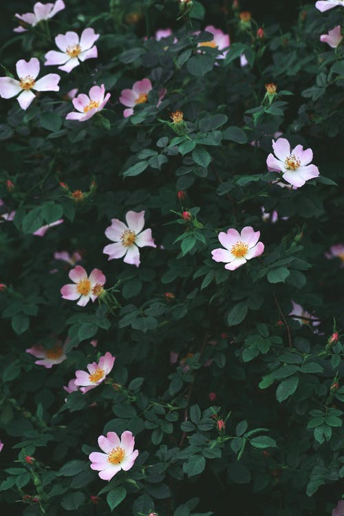 Small light pink flowers of rose hip blooming on bush with dark green leaves in daylight