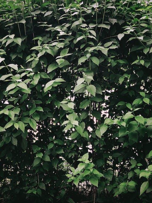 Бесплатное стоковое фото с английский кизил, Биология, ботаника