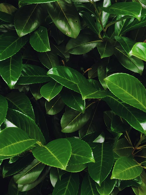 Glossy leaves of laurel in tropical country