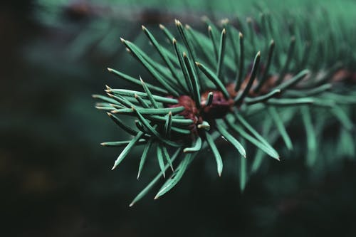 Branch of spruce with green needles