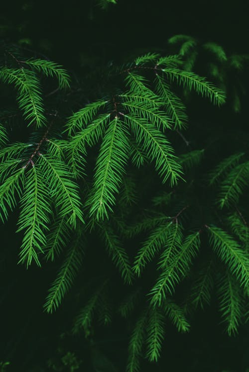 Vibrant green branches of spruce