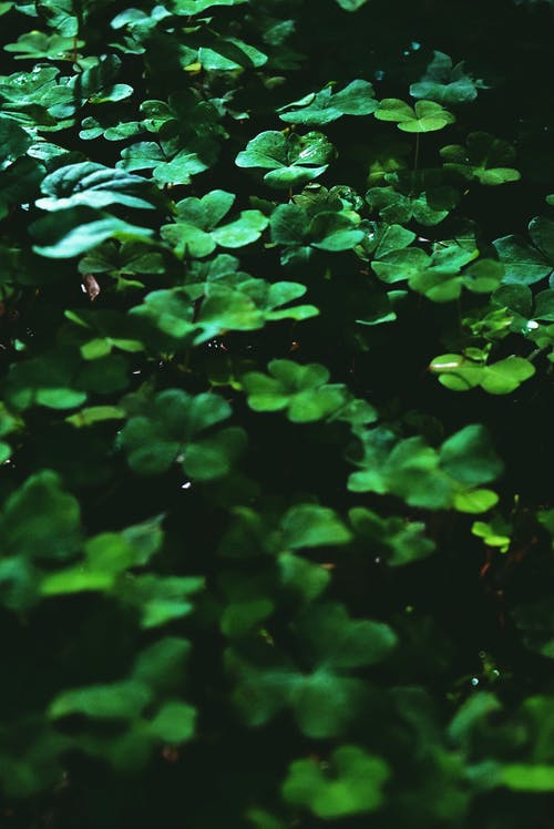 Small dark green four leaves clovers surrounded by grass in exotic forest in sunlight