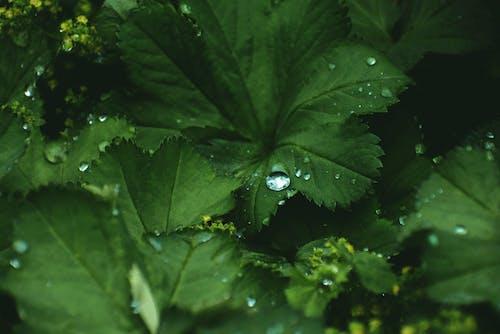 Fotobanka sbezplatnými fotkami na tému alchemilla mollis, botanický, botanika