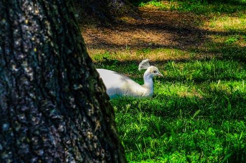 คลังภาพถ่ายฟรี ของ กลางวัน, ต้นไม้, ธรรมชาติ, นกยูง