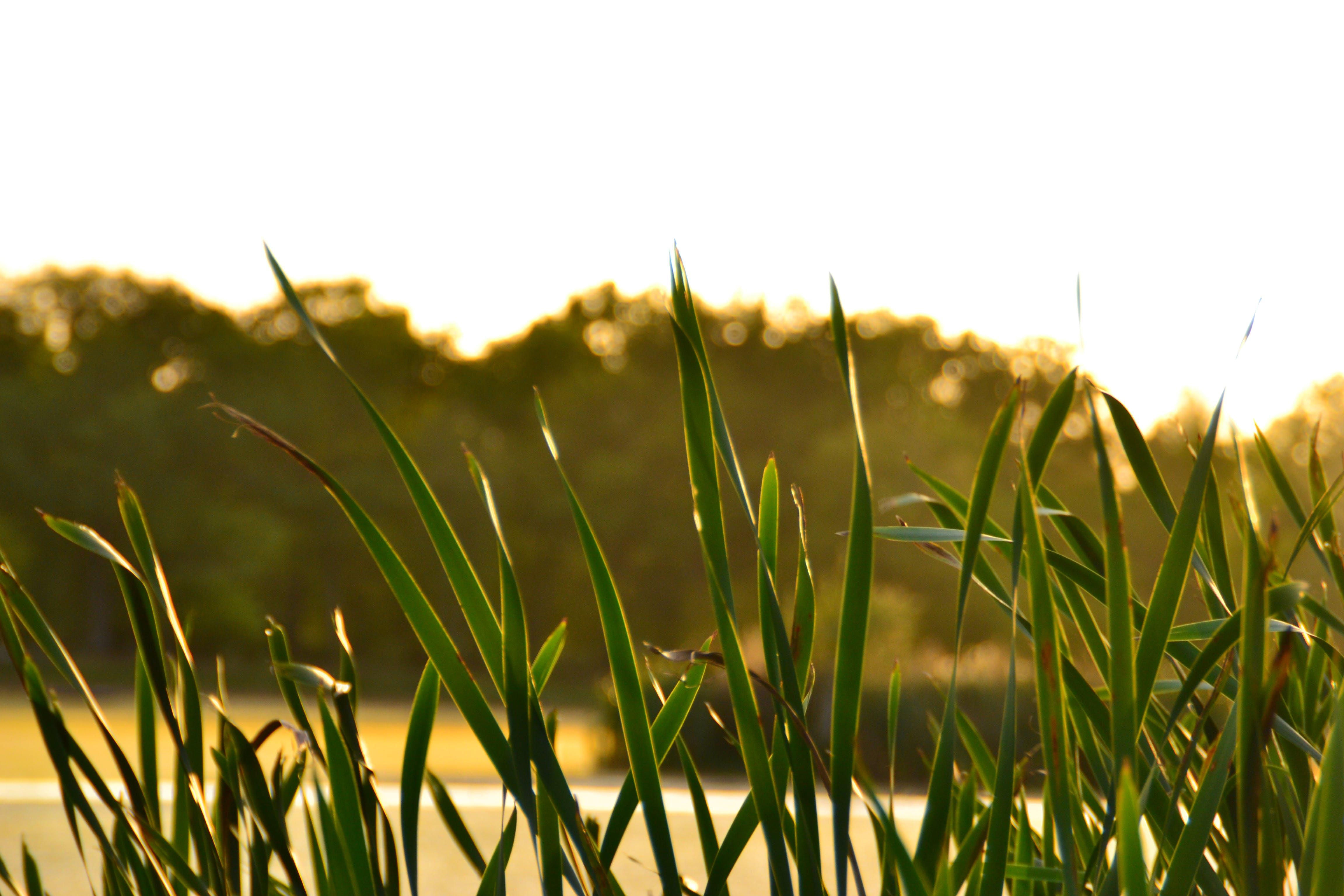 Free stock photo of green, leaves, nature, reed