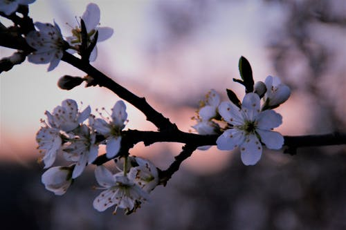 日没, 枝, 白い花, 自然の無料の写真素材
