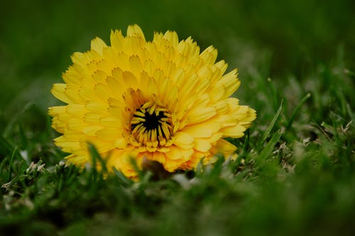 Blooming yellow aster on green grass in garden