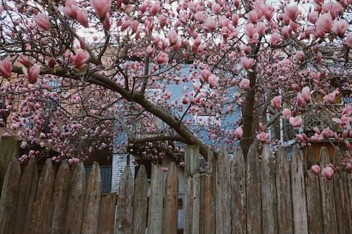 Free stock photo of beautiful flowers, magnolias, mobilechallenge