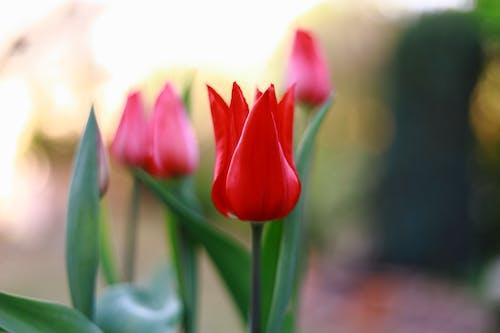 Kostenloses Stock Foto zu farbe rot, tulpe