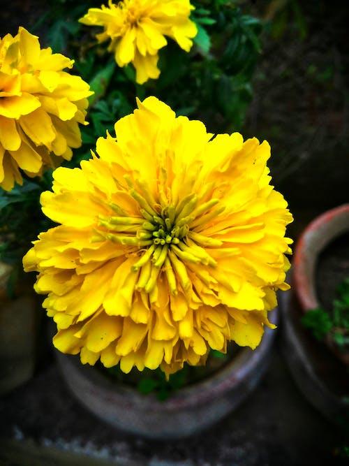Immagine gratuita di bel fiore, fiori che sbocciano, giallo